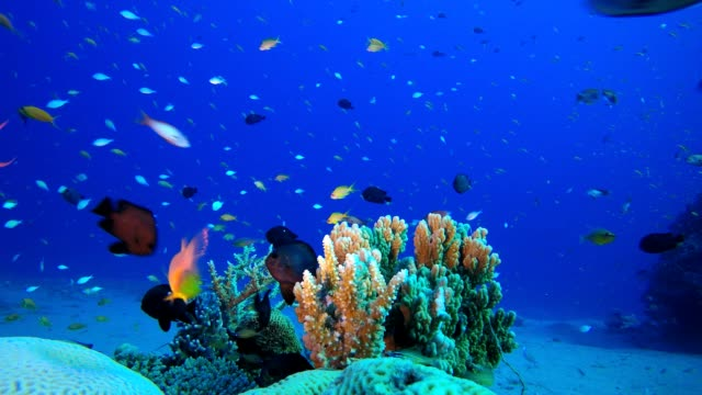 Tropical Coral Garden Tropical fish reef marine. Soft-hard corals seascape. Vibrant coral garden. Reef coral scene. Beautiful soft coral. Sea coral reef. aquatic organism stock videos & royalty-free footage