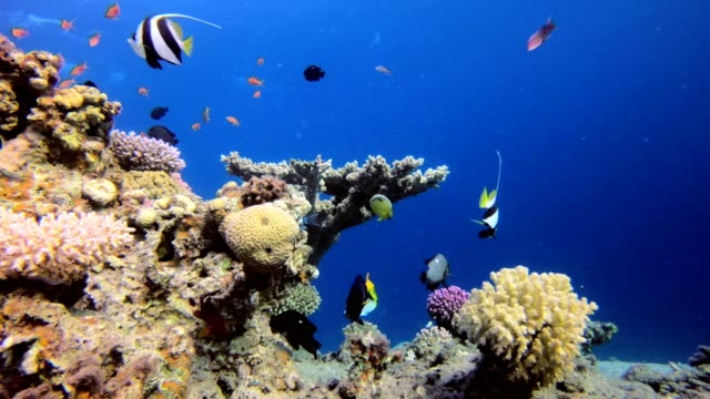 Tropical Coral Reef Picture of colorful fish in the tropical reef of the Red Sea Dahab Egypt reef stock videos & royalty-free footage