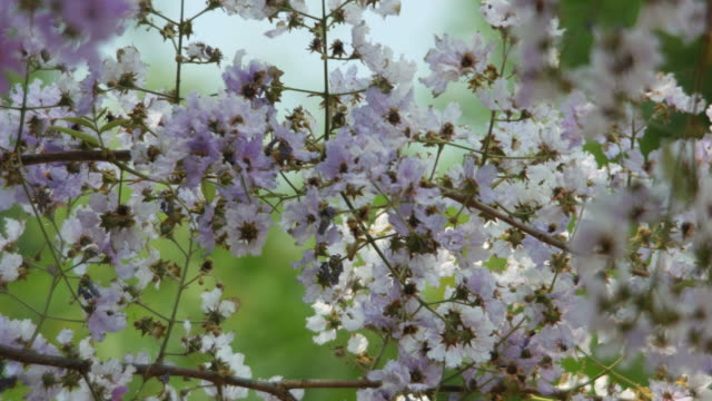tropical crape myrtle flower shaking with wind video
