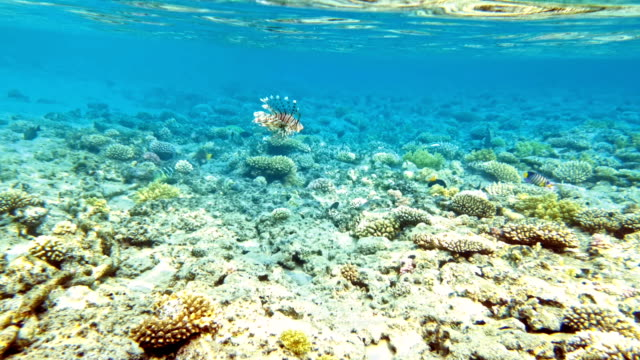 Tropical fish and colorful coral reef underwater video