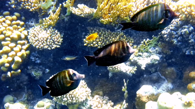 Tropical fish and colorful coral reef underwater Tropical fish and colorful coral reef underwater shot. Red sea coral reef underwater nature wild life. horn of africa stock videos & royalty-free footage