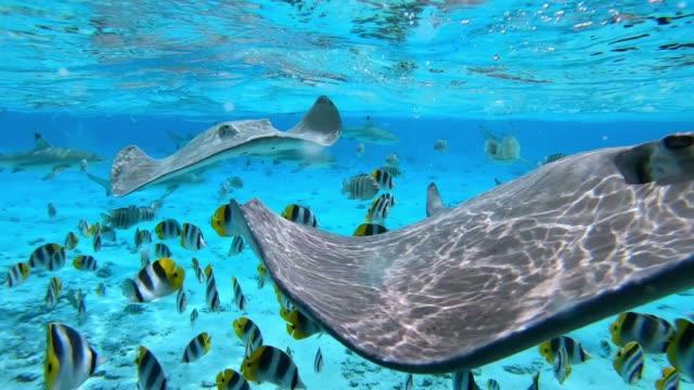 vídeos de stock e filmes b-roll de tropical fish and stingrays swim in bora bora, tahiti french polynesia. - uge