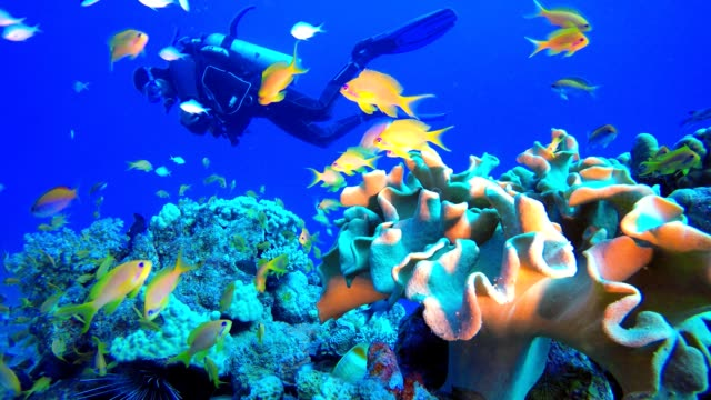 Tropical Fish Coral Reef and A Diver Tropical underwater sea fish. Colourful tropical coral reef. Scene reef.  Marine life sea world. Underwater fish reef marine. Tropical colourful underwater seascape. Underwater fish garden reef. Reef coral scene. Coral garden seascape. aquatic organism stock videos & royalty-free footage