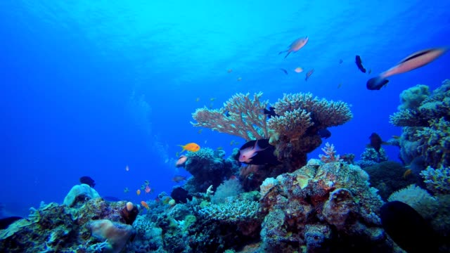 Tropical Fish Coral Reef and A Diver Underwater sea waves. Tropical blue sea water. Coral garden seascape. Blue water background. Tropical underwater bubbles. Surface sea water. Underwater tropical reef coral. aquatic organism stock videos & royalty-free footage