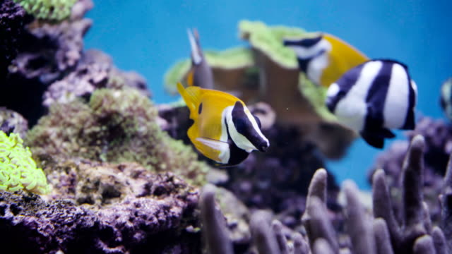 Tropical fish in living corals. video