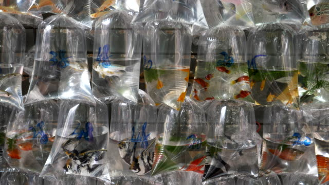 tropical fish in plastic bags at mongkok markets in hong kong video