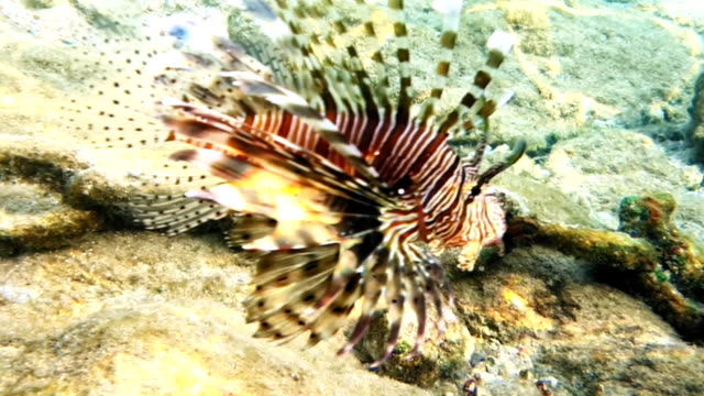 Tropical fish red lionfish coral reef underwater Tropical fish red lionfish and coral reef underwater shot. Red sea coral reef underwater nature wild life. horn of africa stock videos & royalty-free footage