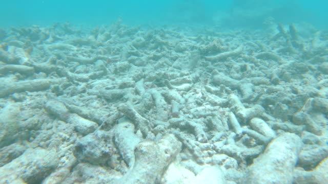 vídeos y material grabado en eventos de stock de pov: los peces tropicales nadan alrededor de los corales muertos destruidos por el calentamiento global. - arrecife fenómeno natural