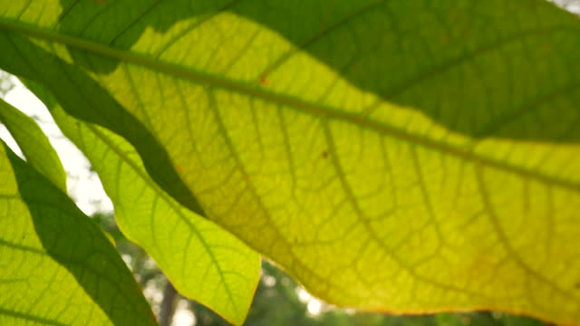 Tropical green leaves tree with beautiful sunlight.