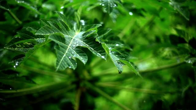 vidéos et rushes de vert tropical - arbre tropical