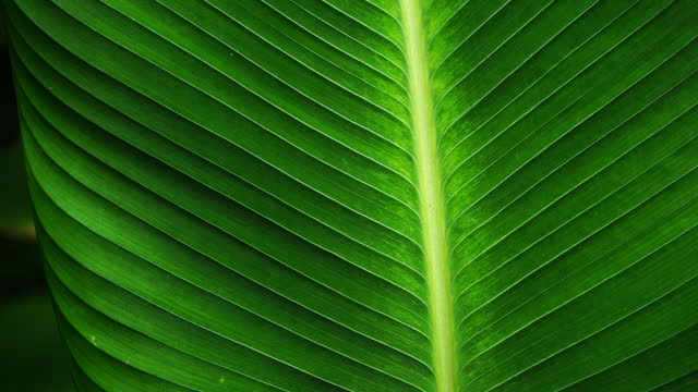 tropical leaf, close up of big green foliage