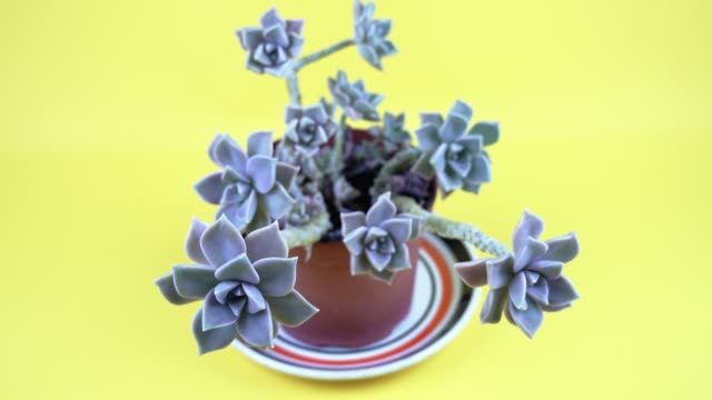 tropical light blue echeveria plant on yellow background tropical light blue echeveria plant with small leaves and long branches on yellow background closeup zoom out juicy stock videos & royalty-free footage