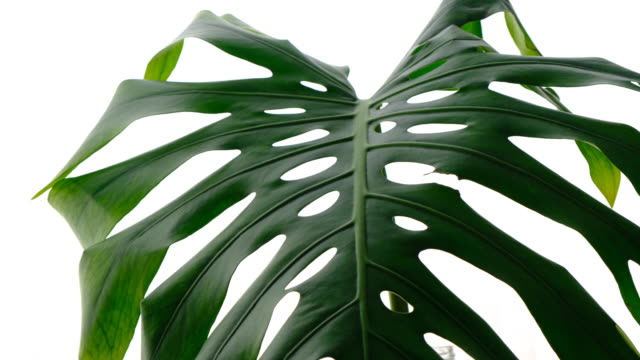 Tropical Monstera Potted Plant