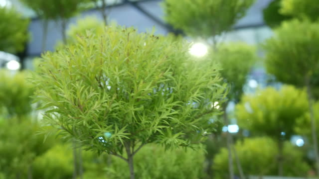 tropical plant , essential oil for mosquito repellent video