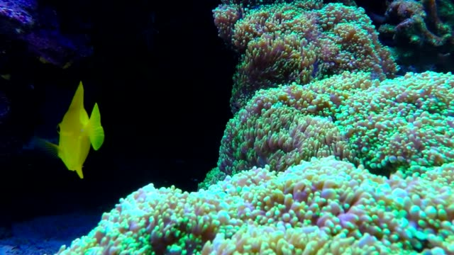 tropical reef fish the clownfish or anemonefish. - isole mauritius video stock e b–roll