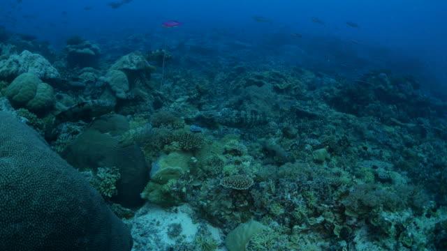 vídeos y material grabado en eventos de stock de arrecife de coral del mar tropical, mero marmoleado - sea life park
