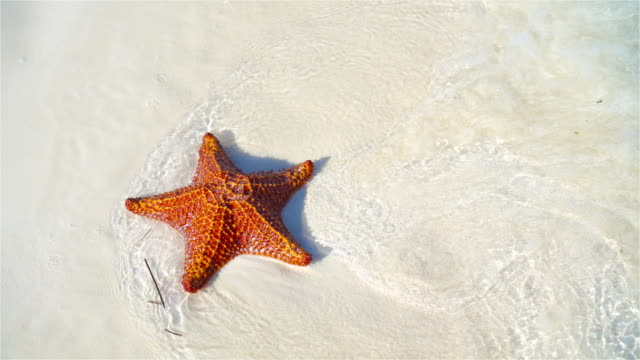 Tropical white sand with red starfish in clear water Tropical beach with a beautiful red starfish animal shell stock videos & royalty-free footage