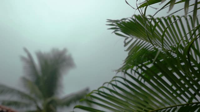 Tropical wind and rain drops falling on the green palm tree leaves in slow motion, 1920x1080 video