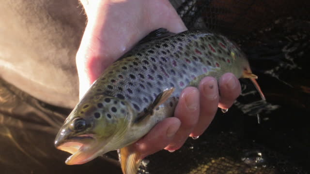 Trout catch and release video