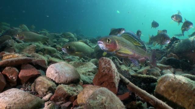 trout fish in sunlight underwater of lena river in siberia of russia. - trout video stock e b–roll