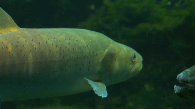 trout fish makes a u-turn - trout video stock e b–roll