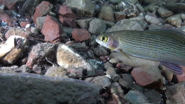 trout fish underwater in stream of water of lena river in siberia of russia. - trout video stock e b–roll