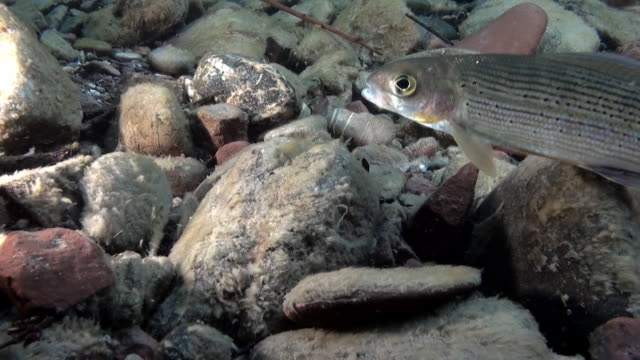trout fish underwater on background of stones of lena river in russia. - trout video stock e b–roll