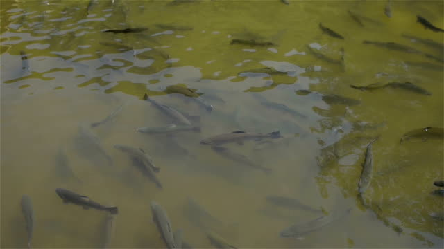 Trout in the pond video