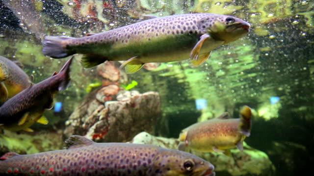 Trout swimming in aquarium video