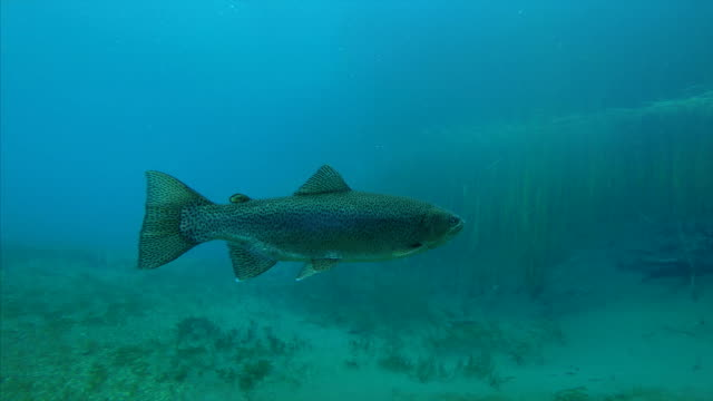 trout swims toward the camera - trout video stock e b–roll