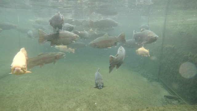 trota subacqueo - trout video stock e b–roll