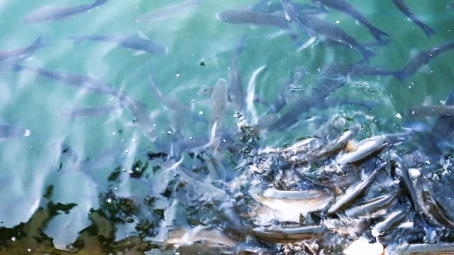trout - trout video stock e b–roll