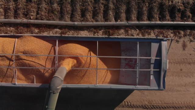 vidéos et rushes de camionnage forward/inclinaison vers le bas coup de drone aérien d'une tarière, verser les grains de maïs à l'arrière d'un semi-camion grain pour le transport à la récolte à côté d'un champ de maïs - maïs culture