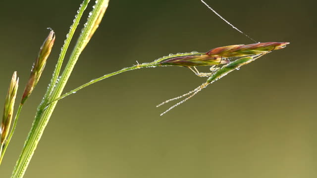 True bug at morning with water drops siting on grass video