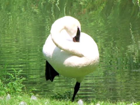 Trumpeter Swan Grooming (HD_link_below) video