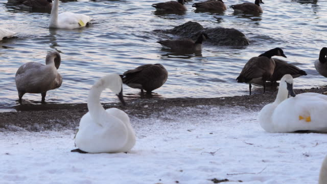 Trumpeter Swans and Canada Geese in Winter
