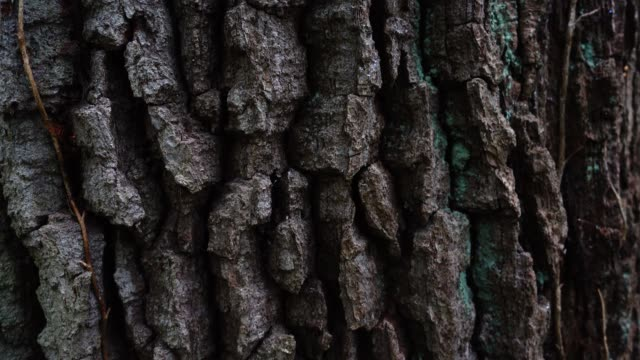 Trunk of a huge tree. Tree bark shooting in the forest. video