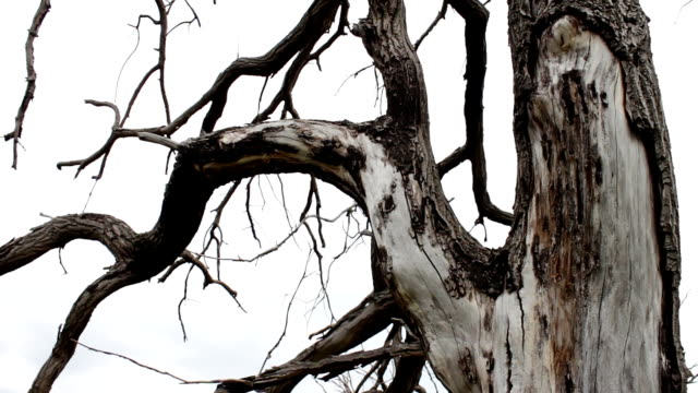 Trunk of an old dry tree. Nature changes. Trees die, forest disappears. ecological catastrophy. water scarcity. global warming. changing of the climate. Mystical creepy scene. Tree branches curves video