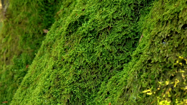 Trunk of tree overgrown with perennial green moss. Close ups
