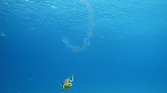 Trunkfish und Quallen Schwimmen am Korallenriff in der Karibik zu tauchen auf Curacao /Netherlands Antilles – Video