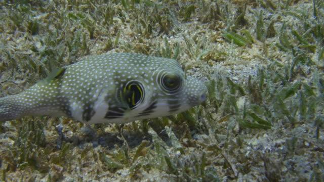 Trunkfish video