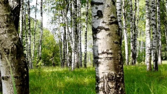 Trunks of birch trees in summertime video