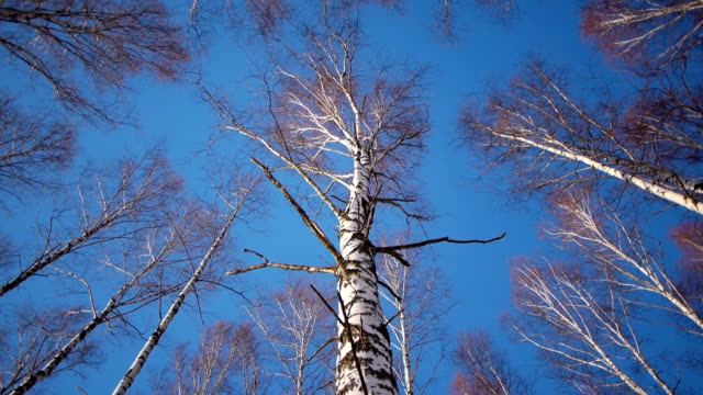 Trunks of birch trees in wintertime video