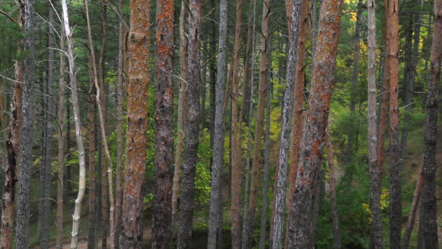 trunks of pines - troncos de pinos - fur bildbanksvideor och videomaterial från bakom kulisserna