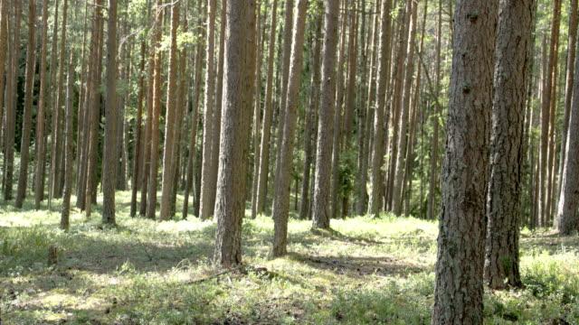 stammar av tallarna i skogen - fur bildbanksvideor och videomaterial från bakom kulisserna