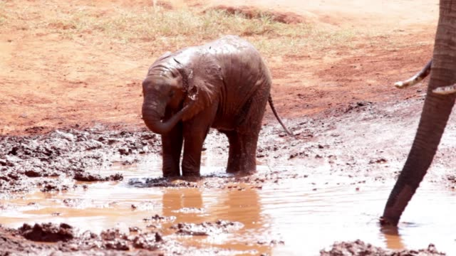 Tsavo East African Red Elephants Tsavo East African Red Elephants - Painted with the red Mud ... mud stock videos & royalty-free footage