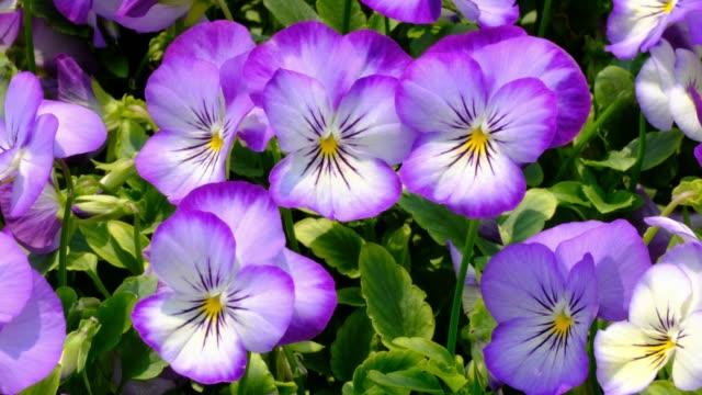Tufted Pansy, Viola cornuta in garden