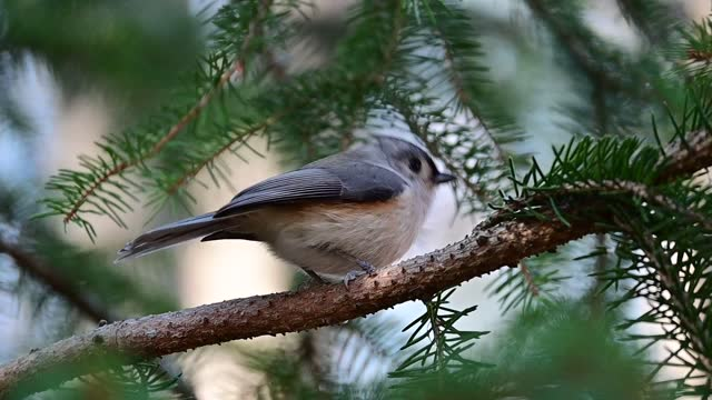 Tufted titmouse in slo-mo