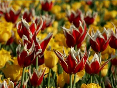 vídeos de stock, filmes e b-roll de flores de tulipas no vento - flor temperada