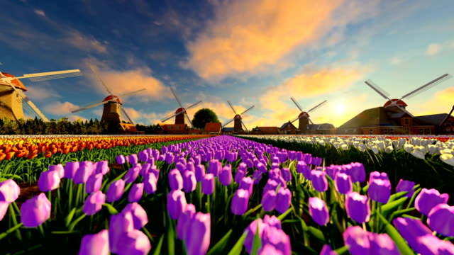Tulip field at sunset with old wind mill on the background Tulip field at sunset with old wind mill on the background tulip stock videos & royalty-free footage